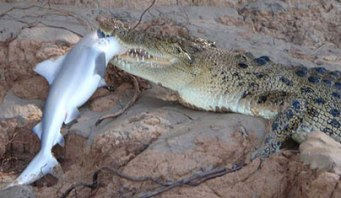 Bueno, parece que entre un cocodrilo y un tiburón gana el primero...