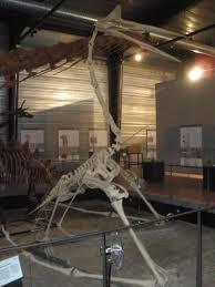 Fósil de Quetzalcoatlus